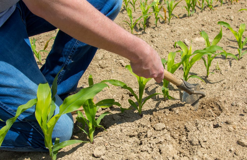 http://kscorn.com/wp-content/uploads/2017/07/KS-Corn-Research-Funding-Research-for-Productivity-Sustainability-and-New-Uses-image.jpg