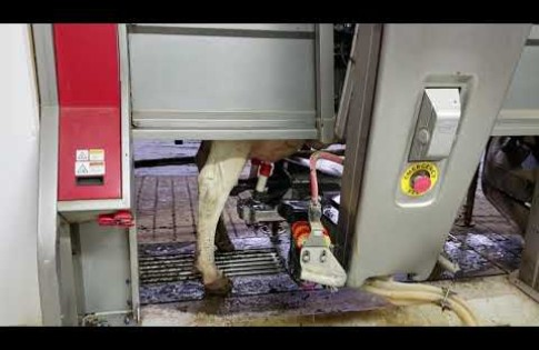 Watch a mechanical milker in action at Meier Dairy