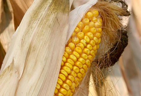 Minneapolis Corn Grower Learns to Enhance Industry Communication