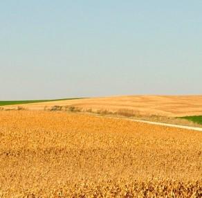 Kansas Corn: Just Dirt