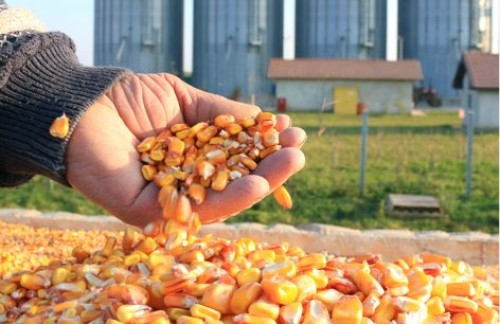 Kansas Corn Disappointed in Kansas Ties to Flawed Study Attacking Ethanol and Corn