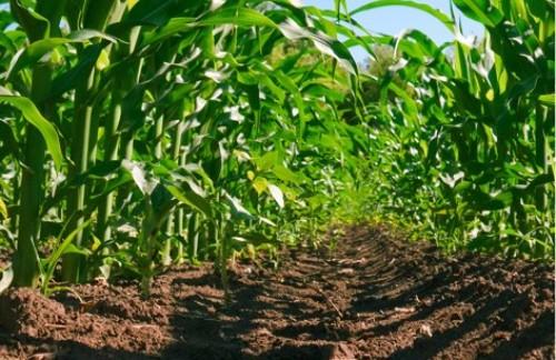 Kansas Corn Awards 15 Scholarships, 6 Collegiate Academy Inductees