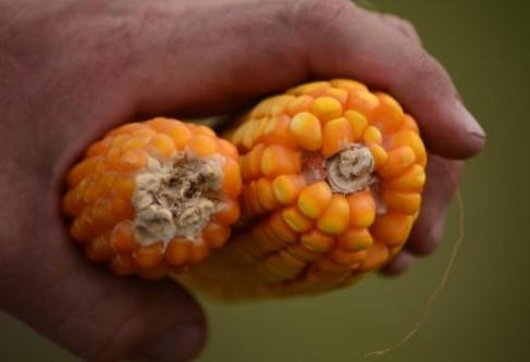 Crop Spotlight – Kansas-Grown Popcorn