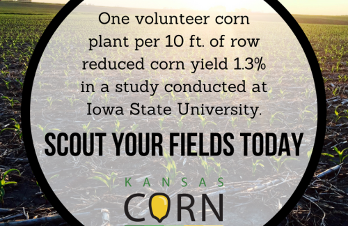 Volunteer Corn Poses Threat to This Year's Yields