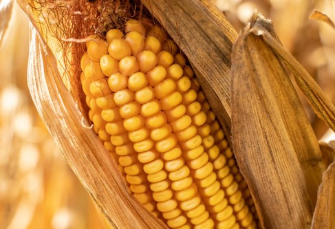 Trade Actions Improve Outlook for Kansas Corn Growers