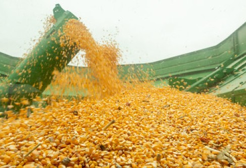 Thomas County Leads Kansas Corn Production