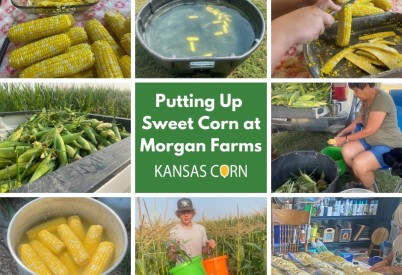 Putting Up Sweet Corn at Morgan Farms