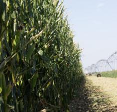 KS Corn - Weber Farm