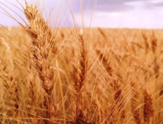 2020 02 12 Wheat Blog Photo