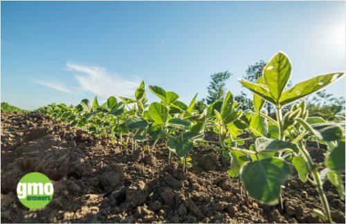 KS-Corn-Advocacy-Projects-GMO-Answers-image