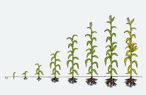 KS-Corn-Research-Funding-Research-Corn-Growth-and-Development-Poster-Available-image